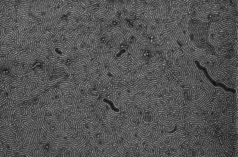 black and white scanning electron micrograph of the nanoribbons that looks like finger prints or a 'zen garden'